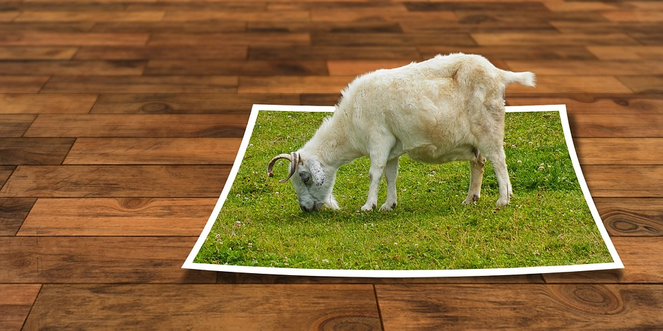 Sheep eating grass on wooden floor
